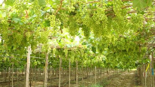Adaptación de uvas sin semilla al desierto piurano